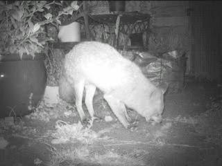 Fox, garden, Apr 26 2020, T1 F (10)
