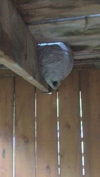 Active wasps nest