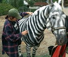 Making a Zebra