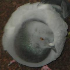 Squared Circle: Pigeon