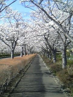 念願の桜吹雪