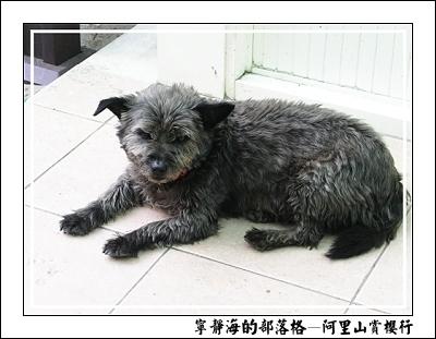 阿里山賞櫻行_凶狠的小黑狗