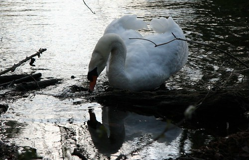 Then, the swan go out of the pond ...
