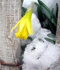 snow daffodils