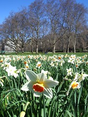 Daffs in Green Park