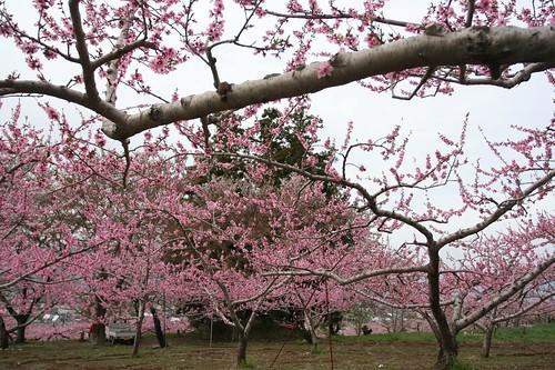 peach flower 01
