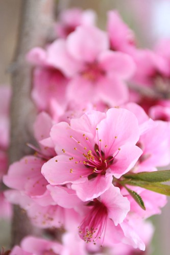 peach flower 03