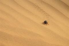 Dung Beetle, Jaisalmer, Rajasthan, India Captured April 12, 2006.
