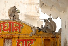 Monkeys, Pushkar, Rajasthan, India<br />Captured April 16, 2006.&#8221; border=&#8221;2&#8243;/> <img src=