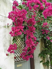Bouganvilla on the entrance