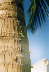 Antigua - Lizard on palm