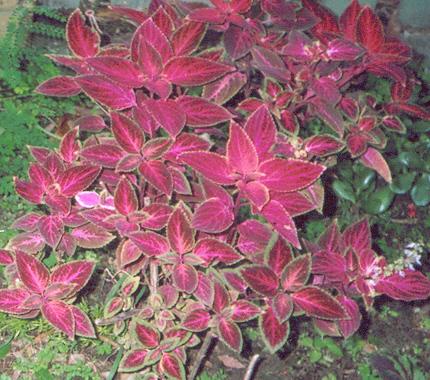 Red leaved bush