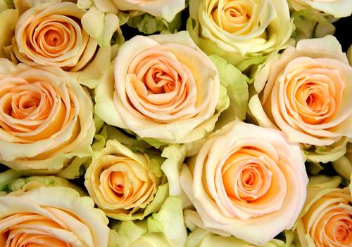 """"""" وردة الجوري"""" 11788007_51135fc8bd."""