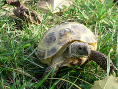 Boris the Russian Tortoise