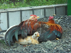 Chicken family (4)