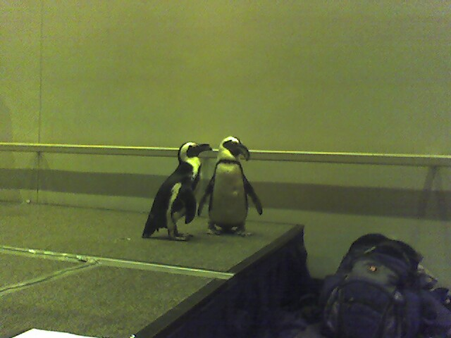 Spheniscus Demersus penguins at Ohio LinuxFest 2006