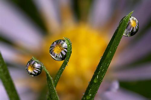Dewdrop flower refraction #4