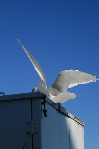 Seagull landing Swartz Bay