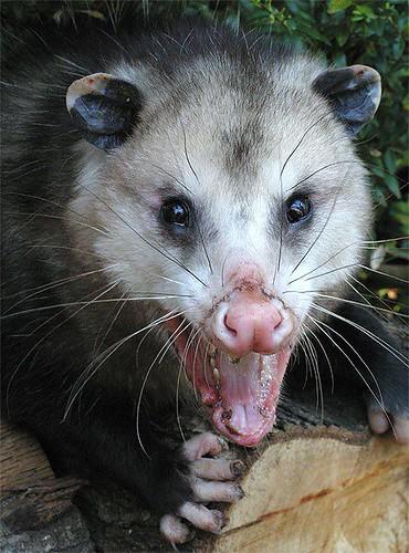 OpossumVirginia01