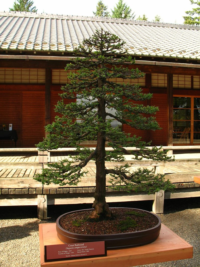 Mammutbäume als Bonsai 2558199e9e1