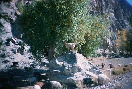 Mountain goats near Ishkashim, Tajikistan / 山ヤギ(タジキスタン、イシュカシム町付近)