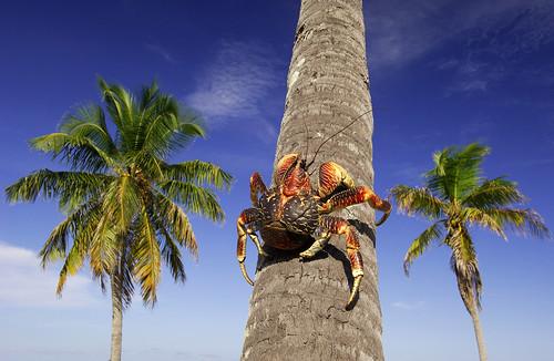 Coconut Crab, Aldabra