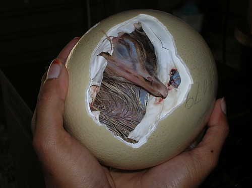 بيضة نعامة تفقس