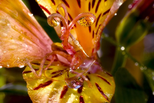 Alstroemeria and Water Drops 2