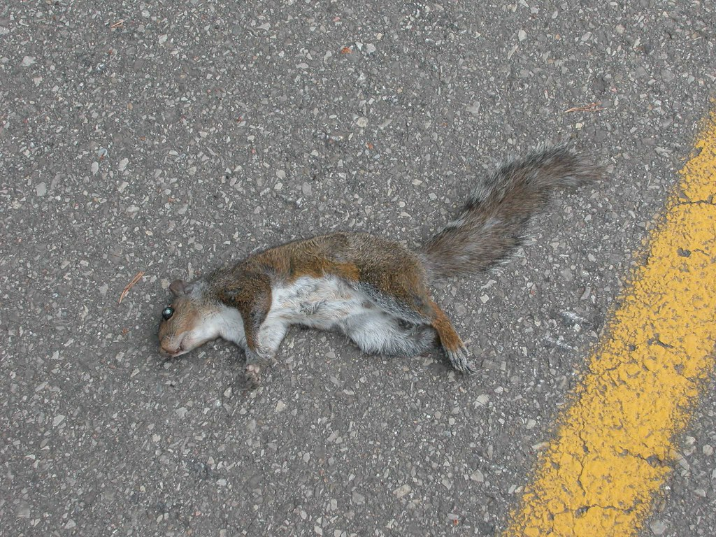 image gallery dead squirrels