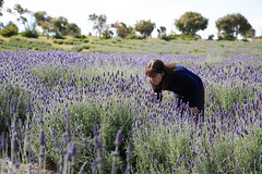 Portland Bay Lavender Farm