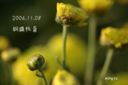 061108-銅鑼杭菊01
