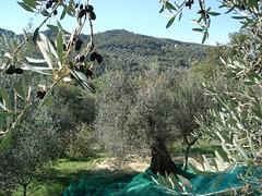 Olive farm, Paciano