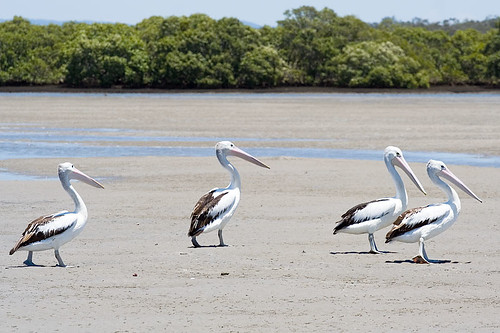 Pelicanus conspicillatus