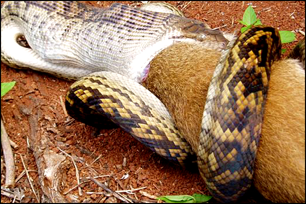 Snake Swallowing Kangaroo 5