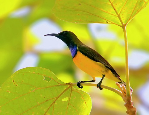 Male Olive-backed Sunbird (Nectarinia jugularis)
