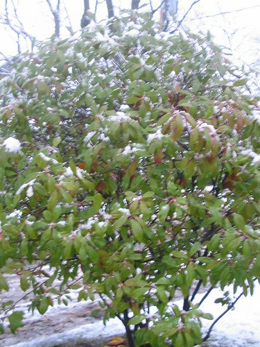 Snowy bush, again