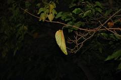 indecisive leaf