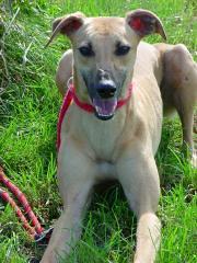 Greyhounds gestolen uit asiel