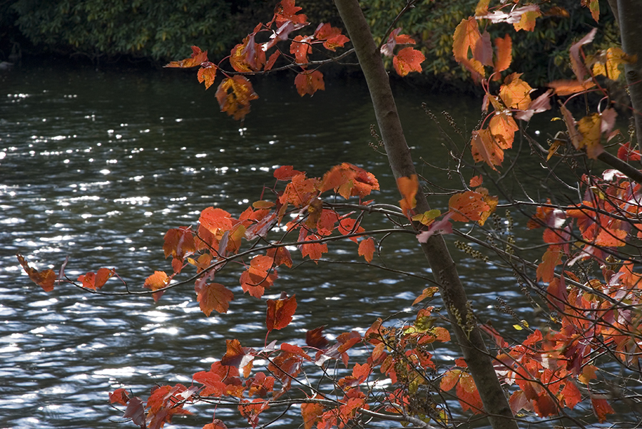 autumn leaves on river