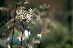 dried blossom