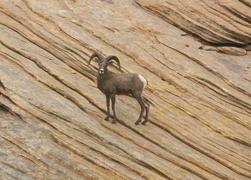 Mountain Sheep Male