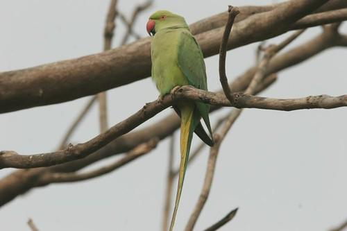 IMG_0288 Rose Ringed Parakeet