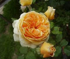 Rosa, English rose, 'Crown Princess Margarethe' photo by fotrristi