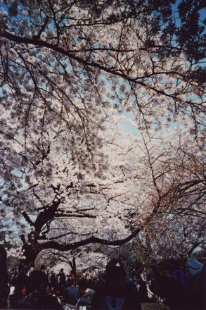 お花見in新宿御苑