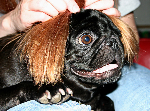 pug toupee