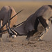 Oryx (Gemsbok) in dominance fight by WildImages