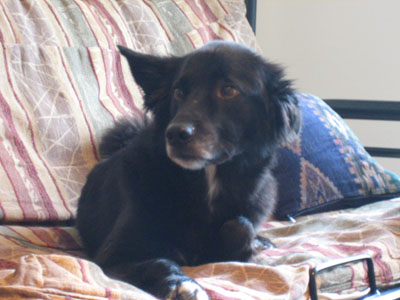 border collie mix on couch