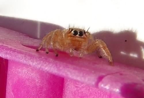 Araña sobre pinza rosa