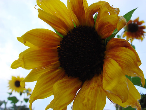 yellowsunflower9