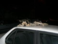 Perro echándose una siesta